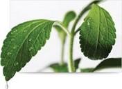 Duong-co-ngot-stevia