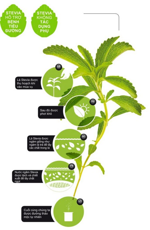 duong co ngot stevia info